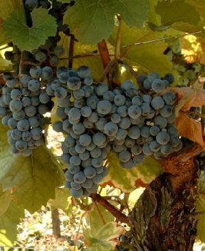 Grape Varietals in Nova Scotia Canada