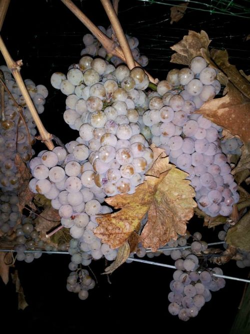 Ready to harvest Riesling - Quails Gate Winery